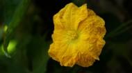 黄色的丝瓜花图片(6张)