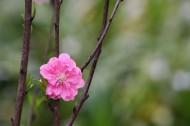 初春桃花图片(13张)