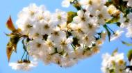 漂亮的白色樱花图片(15张)