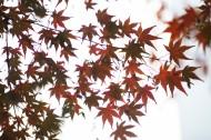 好看的枫树树叶图片(12张)