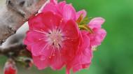 红色千叶桃花图片(10张)
