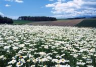白色花丛图片(10张)