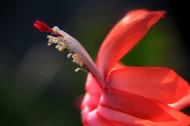 蟹爪莲图片(8张)