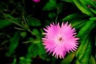 紫色石竹花图片(11张)