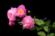 蔷薇花图片(20张)