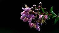 紫薇花图片(9张)