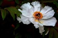 白牡丹图片(10张)
