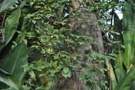 水翁植物图片(5张)