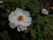 牡丹花图片(9张)