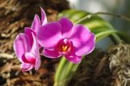 美丽的蝴蝶兰图片(9张)