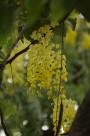 香肠树花图片(9张)