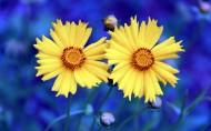 黄色金鸡菊花卉图片(14张)