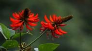 刺桐花图片(10张)