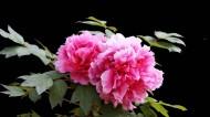 富贵牡丹花图片(6张)