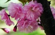 粉色樱花图片(10张)