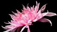 各种颜色的菊花图片(19张)
