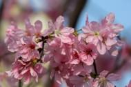 粉色樱花图片(12张)