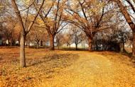 金黄银杏树图片(6张)