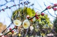 白色和粉色的梅花图片(11张)
