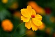黄金菊图片(10张)