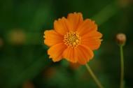 金色硫华菊图片(12张)
