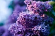 紫色丁香花图片(20张)