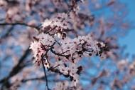 绽放的粉色樱花图片(10张)
