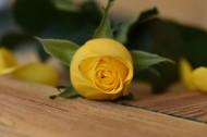 热情明亮的黄玫瑰图片(10张)