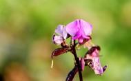 扁豆花图片(7张)