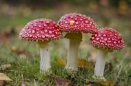 红白斑点的毒蝇伞图片(15张)