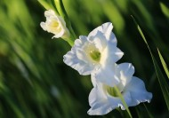 白色唐菖蒲花卉图片(8张)