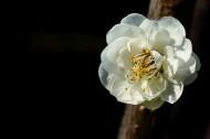 娇而不艳的梅花图片(9张)