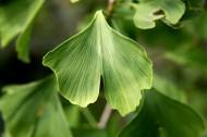 绿色的银杏树叶图片(13张)