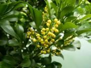 米仔兰植物图片(5张)