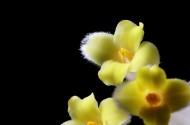 结香花图片(8张)