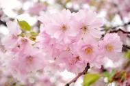 唯美粉色樱花图片(16张)