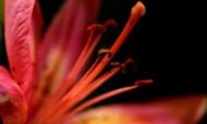 各种颜色的百合花图片(16张)
