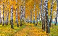 秋季金黄的白桦林图片(12张)