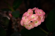 虎刺梅图片(10张)