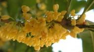 桂花花卉图片(33张)