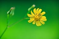 黄鹌菜图片(8张)