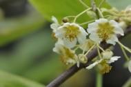 猕猴桃花图片(10张)