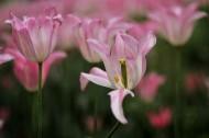 郁金香花卉图片(14张)