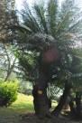 海南苏铁植物图片(2张)