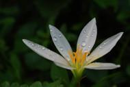 白色水仙花图片(12张)