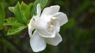 纯洁的白色栀子花图片(14张)