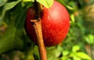 树上的油桃图片(7张)