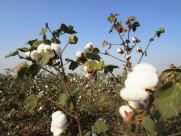 白白的棉花图片(10张)