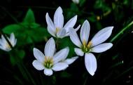 葱兰花图片(9张)