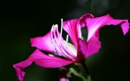 紫荆花图片(11张)